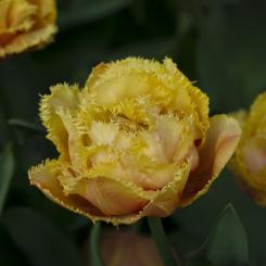 sensual-touch-tulip