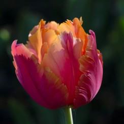 amazing-parrot-tulip-bloom