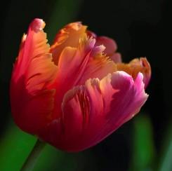 amazing-parrot-tulip-blooms