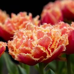 brisbane-fringed-tulip-open