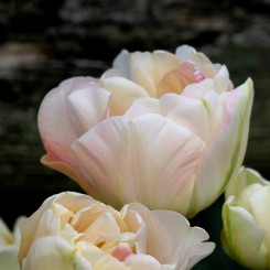 charming-lady-double-tulip-bulbs
