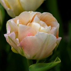 charming-lady-double-tulip-new