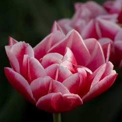 columbus-peony-tulips-new