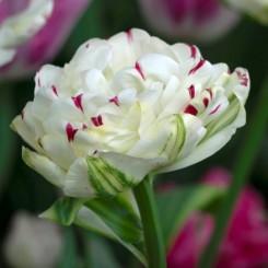 danceline-double-tulip
