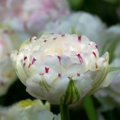 danceline-double-tulips