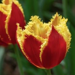 fabio-fringed-tulip