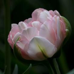 finola-double-tulip-late