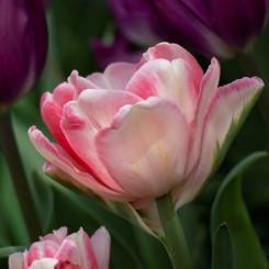 foxtrot-double-tulip