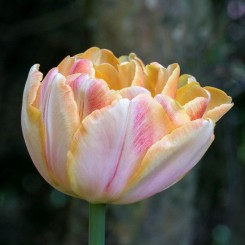 foxy-foxtrot-double-tulip