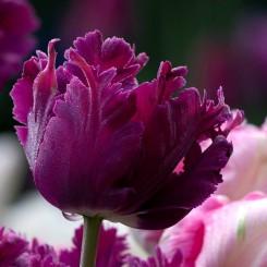 secret-parrot-tulip