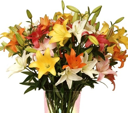 Grower's Choice Asiatic Lilies