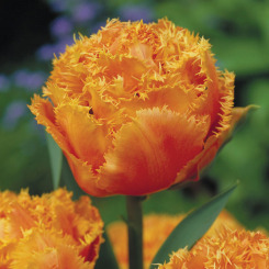 Fringed Tulips