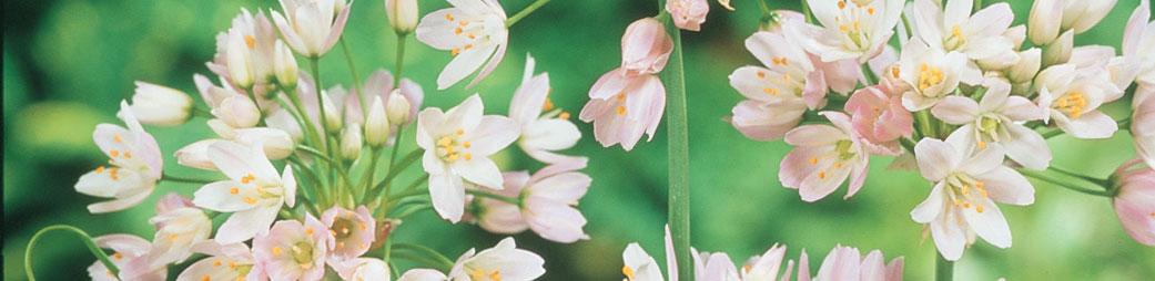 Specialty flower bulbs for sale at tulips specialty bulbs mightylinksfo