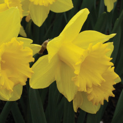 Yellow Trumpet Daffodils