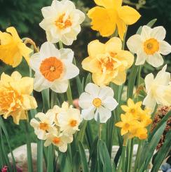 Bulk Daffodil Bulbs
