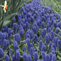 Bulk Muscari Bulbs