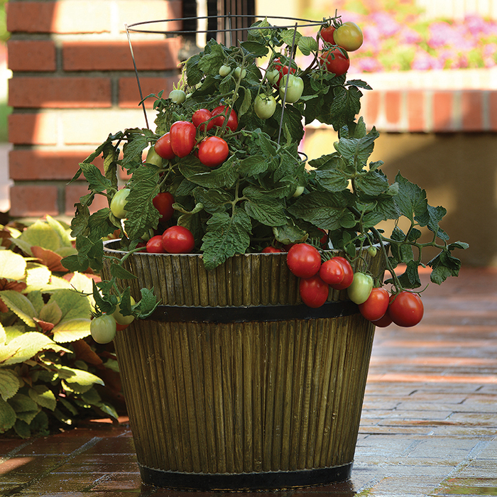 Little Napoli Hybrid Tomato