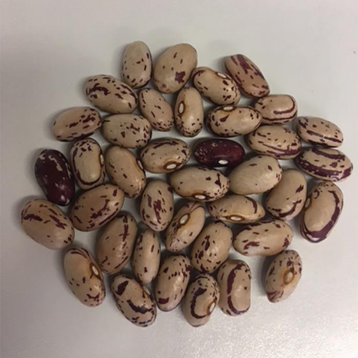 Italian Cranberry Dry Bean