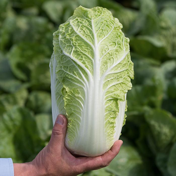 Emiko Hybrid Napa Cabbage