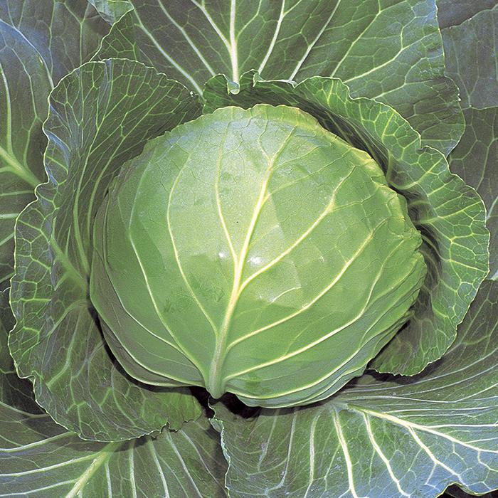 Quick Start Hybrid Cabbage