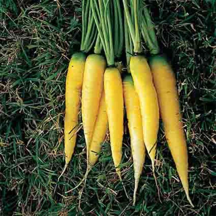 Yellowstone Carrot