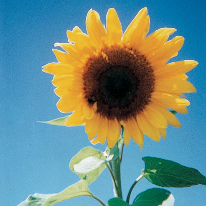 Large Grey Stripe Sunflower
