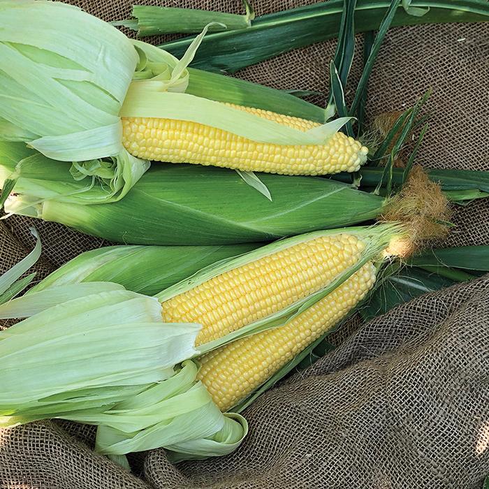 Incredible Rm Hybrid Sweet Corn