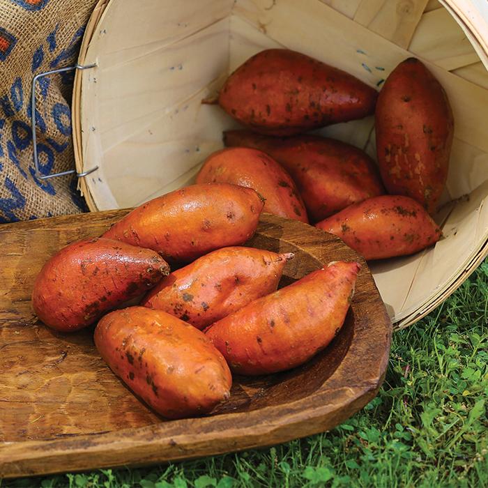 Covington Sweet Potato Plants