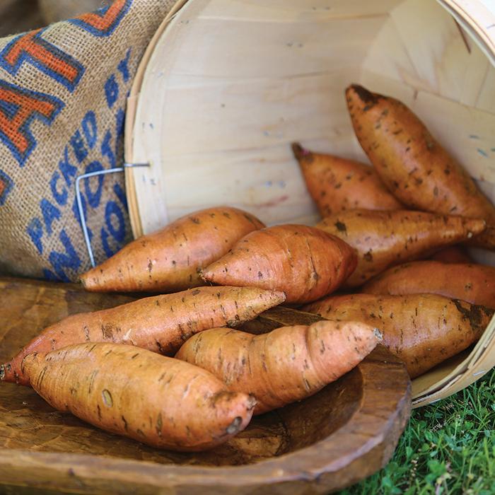 Porto Rico Sweet Potato