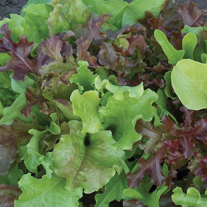 Favorite Blend Lettuce