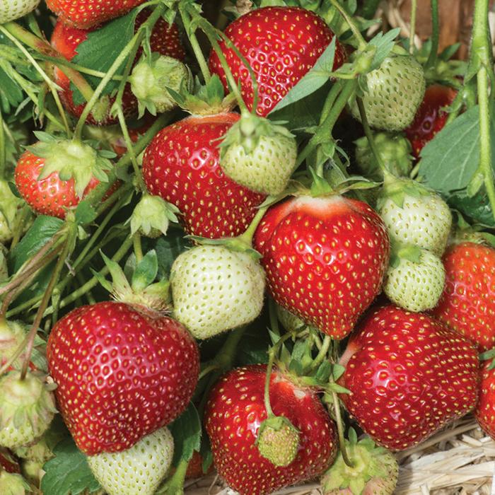 Galletta Strawberry