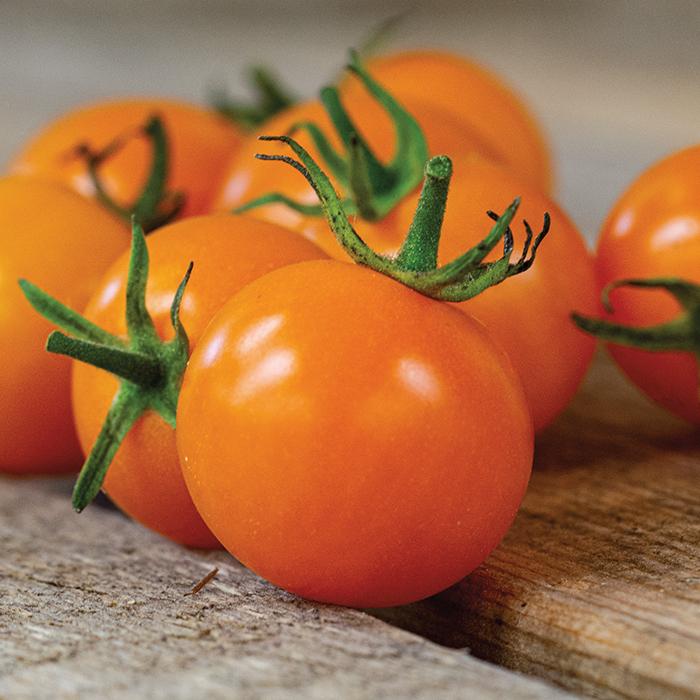Sunsugar Hybrid Tomato Plant