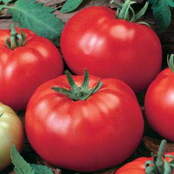 Grandaddy Hybrid Tomato