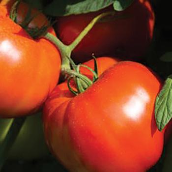 Rutgers 250 Tomato