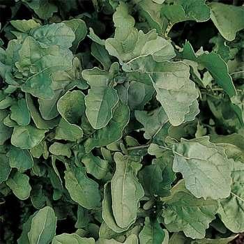 Standard Salad Arugula