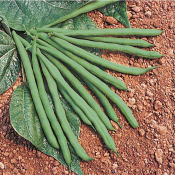Jade II Bush Bean - 200 Seeds