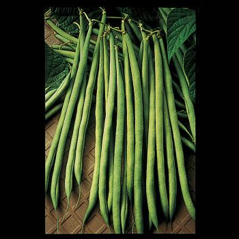 Maxibel French Filet Bean