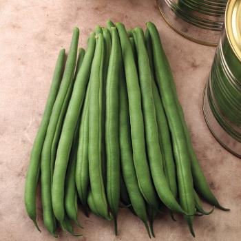 Titan Bush Bean