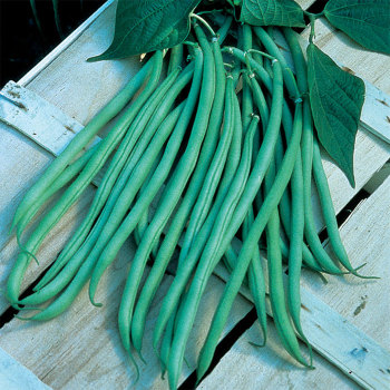 Fortex French Filet Bean - 100 seeds