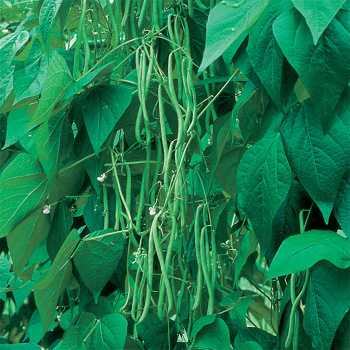 Emerite French Filet Bean - 100 seeds