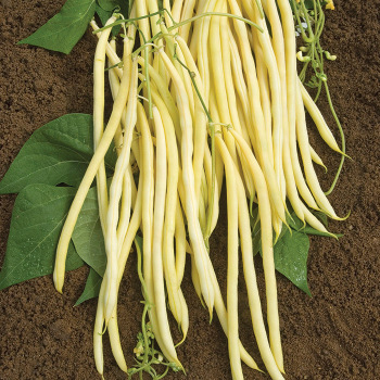 Monte Gusto Pole Bean - 150 Seeds
