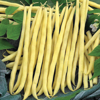 French Gold Pole Bean - 100 seeds