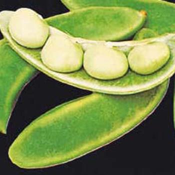 Burpee Improved Lima Bean