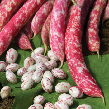 Flambo Dry Bean