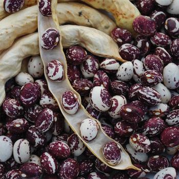 Good Mother Stallard Dry Bean