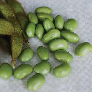 Envy Bush Soybean