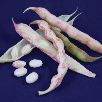 French Horticultural Shell Bean