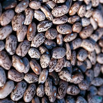 Pinto Dry Bean