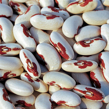 Soldier Dry Bean