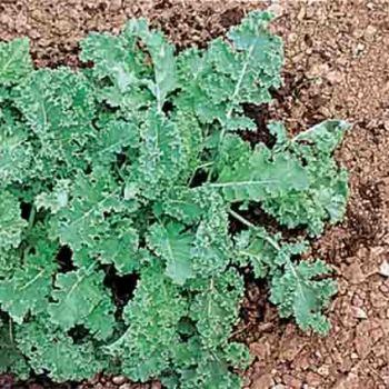 Dwarf Blue Curled Scotch Kale